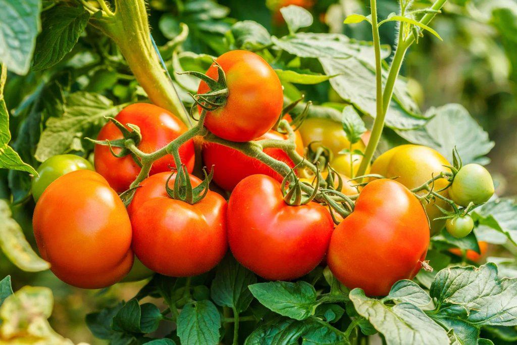 Fakta om tomater